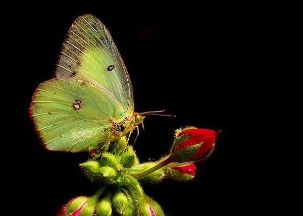 kelebek5 - Baharima Bir Kelebek
