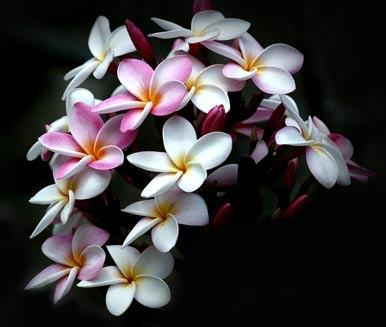 _fleurs de frangipanier