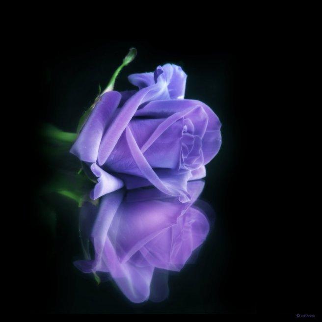rose-bleue-m