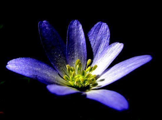 anemon çiçegi