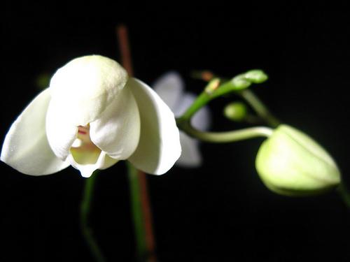 orchidée_