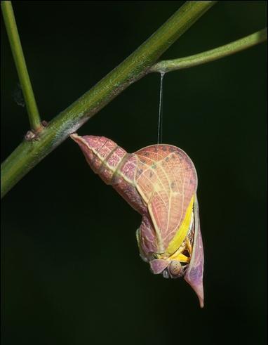 acil-cikis-sulphur-butterfly-emergence