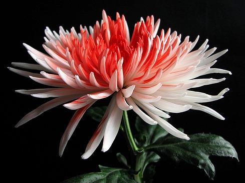 chrysanthemum-flower