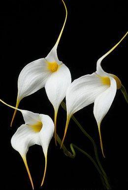 golden-gate-orchids
