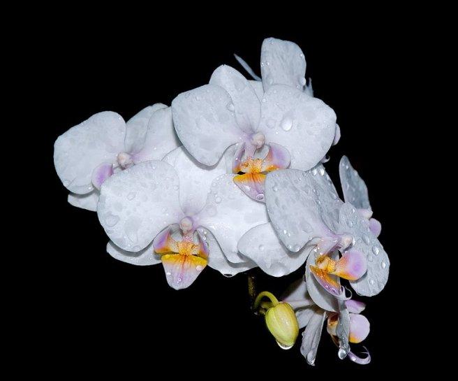 islak orkide