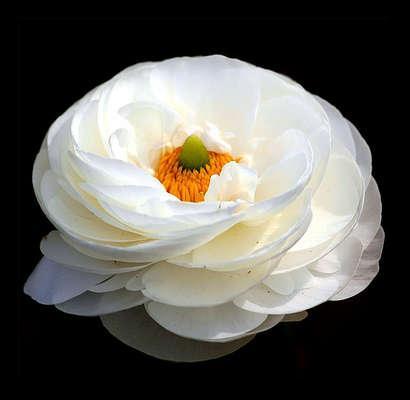sakayik çiçegi