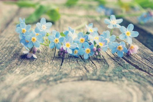 Forget-me-not flowers on old textured wooden surface